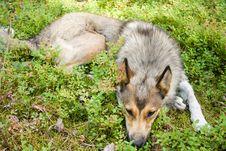 Purebred Siberian Husky Stock Photo