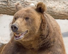 Free Brown Bear 6 Royalty Free Stock Image - 3145056