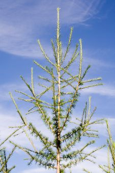 Free New Larch Tree Stock Image - 3145211