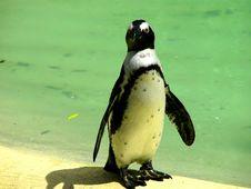 Free Penguin Royalty Free Stock Photos - 3145488