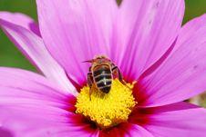 Free Bee Royalty Free Stock Photos - 3145818