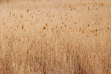 Reeds In Danube Delta Royalty Free Stock Image