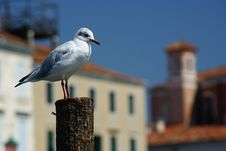 Free Seagull Portrait Stock Photos - 3146303