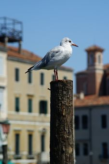 Free Seagull Portrait Royalty Free Stock Images - 3146329