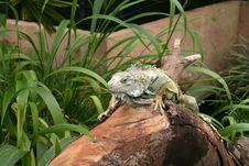 Free Large Iguana Royalty Free Stock Photos - 3146818