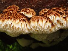 Free Polypore Mushroom On Log Royalty Free Stock Images - 3147379