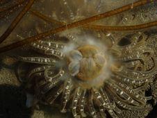 Free Sea Anemone Spawning Stock Photos - 3147473
