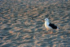 Free Beach Seagull Stock Photos - 3147703