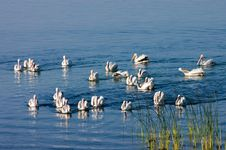 Free Pelicans On Eagle Lake Stock Photography - 3147732