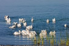 Free Pelicans On Eagle Lake Royalty Free Stock Photography - 3147767