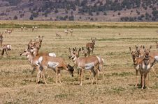 Free North American Pronghorn Royalty Free Stock Photos - 3147818
