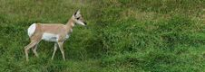 Deer In Green Field Stock Images