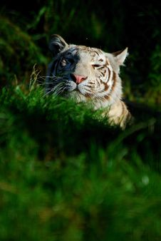 Free White Tiger Stock Photos - 3147833