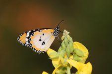 Common Plain Tiger Stock Photography