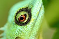 Free Green Crested Lizard Eye Stock Photography - 3148332