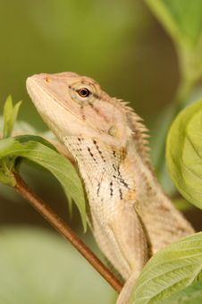 Free Changeable Lizard Royalty Free Stock Images - 3148439