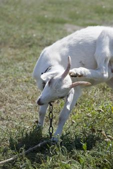 Free Goat Royalty Free Stock Images - 3148449