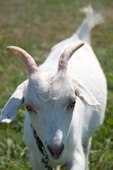 Free Goat Stock Image - 3148451