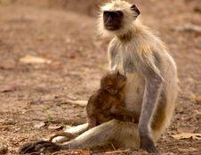 Free Langoor Baby & Mother Stock Image - 3149201