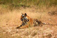 Free Royal Bengal Tiger Royalty Free Stock Photos - 3149308