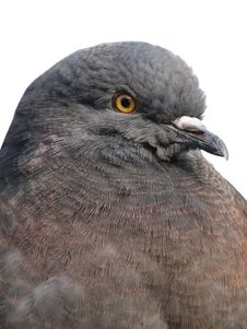 Free Pigeon 4 Stock Images - 3149634