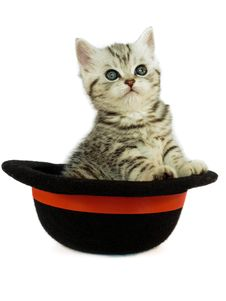 Free Kitten British Short Hair Black Silver Tabby Spotted In A Hat Stock Images - 31405224
