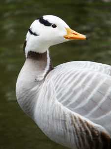 Free Indian Goose With A Water Background Royalty Free Stock Images - 31405239