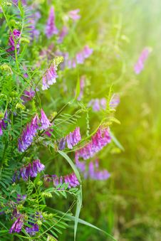 Wild Pea Flowers Royalty Free Stock Photography