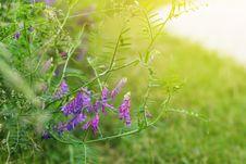 Wild Pea Flowers Stock Images