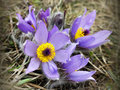 Free Pasqueflower Royalty Free Stock Photography - 31410387