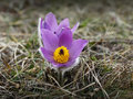 Free Pasqueflower Stock Image - 31410421