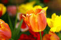 Free Tulip Royalty Free Stock Photos - 31412098
