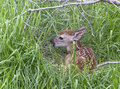 Free Young Whitetail Fawn Stock Images - 31419334