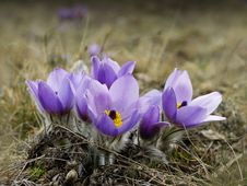 Free Pasqueflower Stock Image - 31410561