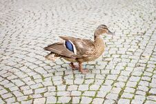 Duck Royalty Free Stock Image