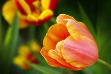 Free Tulip Stock Photography - 31412022