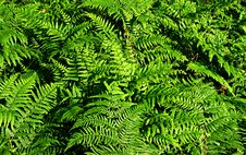 Free Ferns. Royalty Free Stock Photos - 31412038