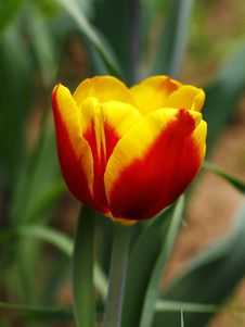 Free Tulip Royalty Free Stock Images - 31412049