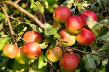 Free Apples In The Orchard. Royalty Free Stock Photos - 31412088