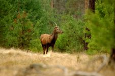 Free Deer. Royalty Free Stock Photos - 31413178