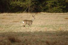 Free Wild Deer. Royalty Free Stock Photos - 31413388