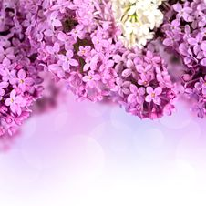 Free Branches Of Lilac Stock Photo - 31413740