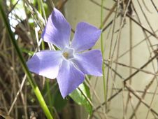 Free Periwinkle Purple Flower Stock Image - 31414741