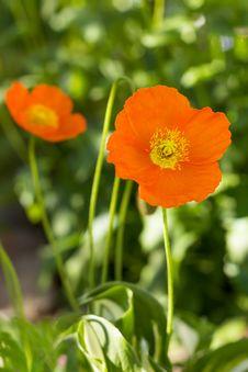 Free Orange Poppy Flowers Blossom Royalty Free Stock Images - 31416229