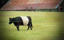 Free Belted Galloway Cow Stock Photo - 31417230
