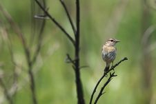 Free Stonechat On Twig Royalty Free Stock Photography - 31417507