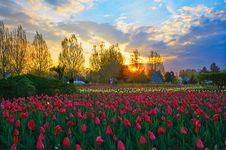 Free The Tulips Of Sunset Glow Stock Photography - 31419202