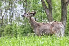 Free Whitetail Deer Buck Stock Images - 31419344