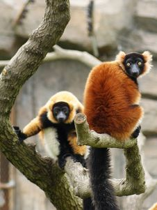 Free Red-Ruffed Lemur Royalty Free Stock Images - 31421319
