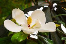 Free The Magnolia Grandiflora Linn Stock Photo - 31421410